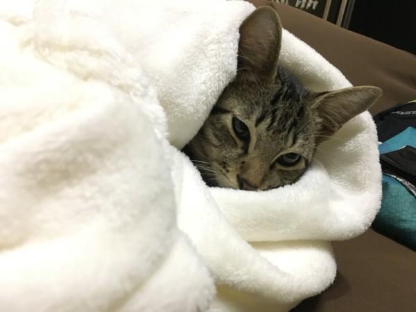 猫 キジトラ 虎徹の写真