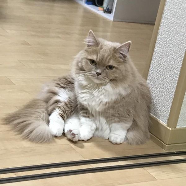 猫 ミヌエット りかの写真