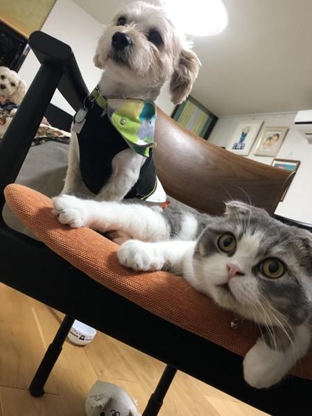 猫 スコティッシュフォールド ちゃんぴの写真