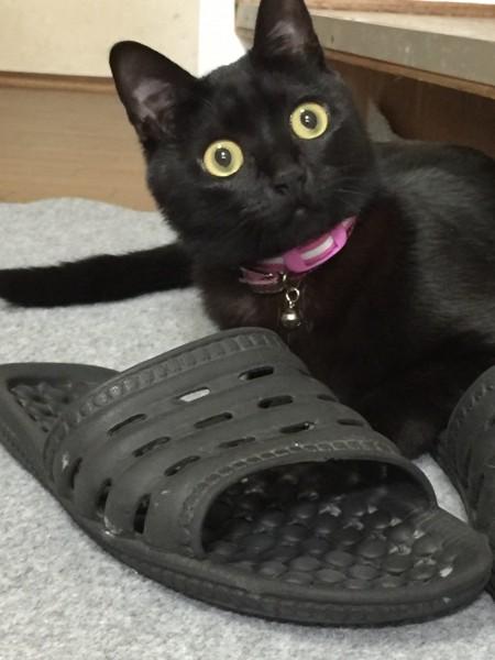 猫 黒猫 くりの写真