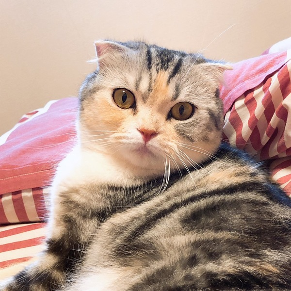 猫 スコティッシュフォールド コットンの写真