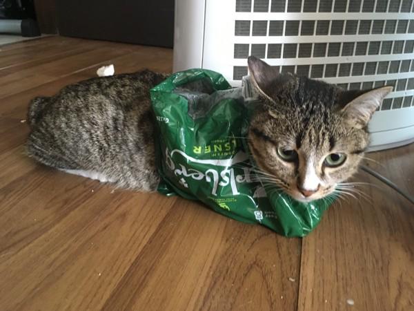 猫 キジトラ つみれの写真
