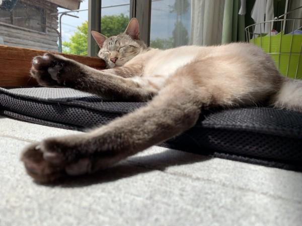 猫 雑種(ミックス) わさびの写真
