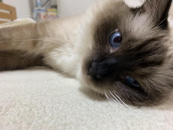 猫 ラグドール 真央の写真