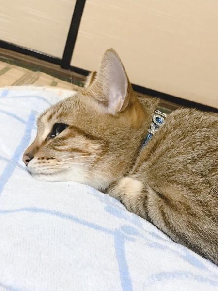 枕に頭と前足を置いて眠そうな猫