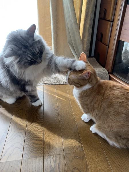 猫 ノルウェージャンフォレストキャット ルイとチャーの写真