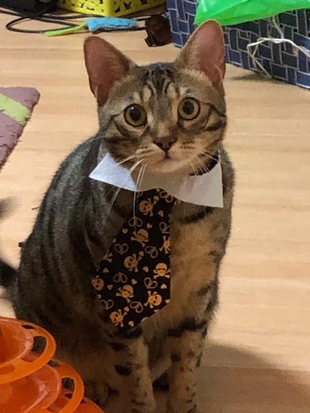 猫 ベンガル シンバの写真