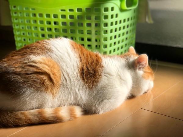 猫 雑種(ミックス) こてつの写真