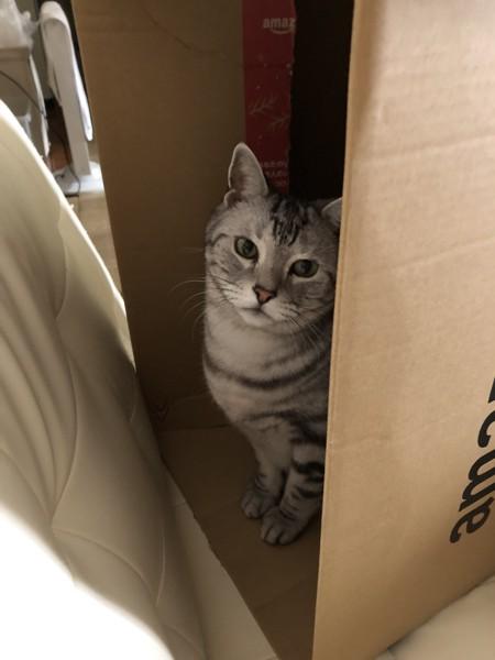 猫 アメリカンショートヘア シイくんの写真