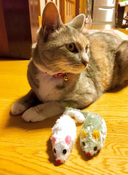 猫 雑種(ミックス) エネコの写真
