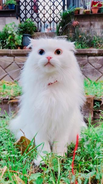 猫 スコティッシュフォールド ニコの写真