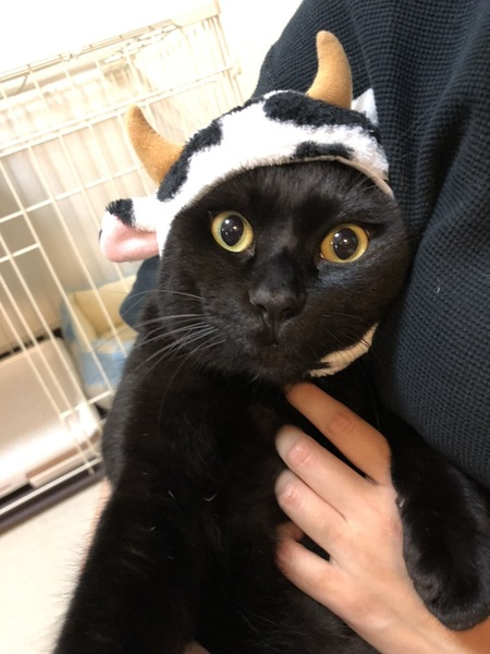 猫 黒猫 こてつの写真