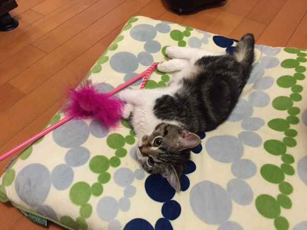猫 マンチカン みー太郎の写真