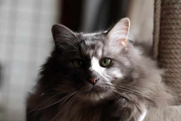 猫 長毛ミックス 蘭丸の写真