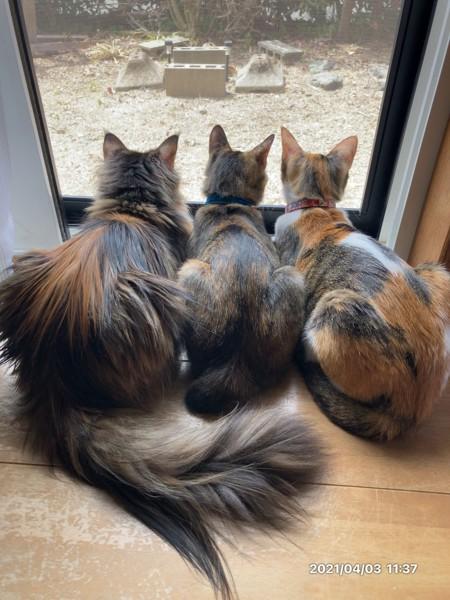 猫 メインクーン ティカ あお リリィの写真