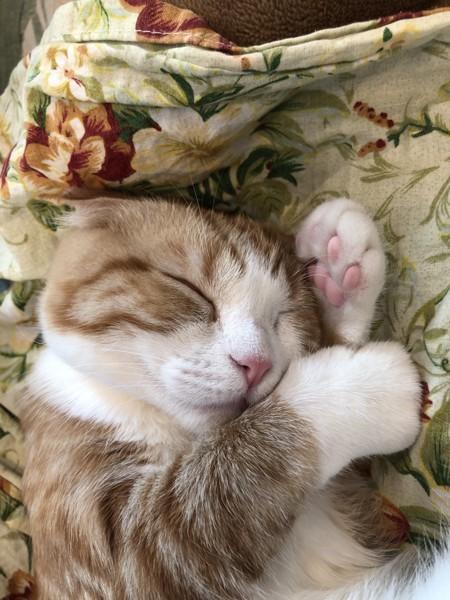 猫 スコティッシュフォールド ヒメちゃんの写真