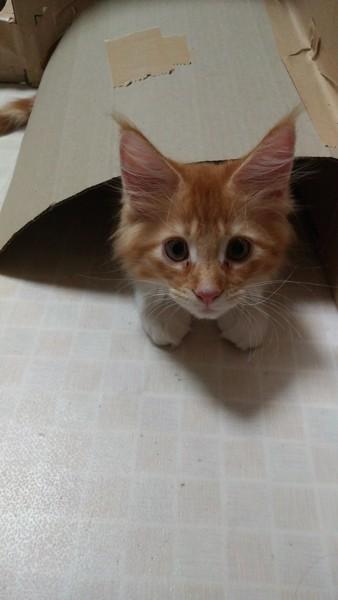 猫 メインクーン ふくちゃんの写真