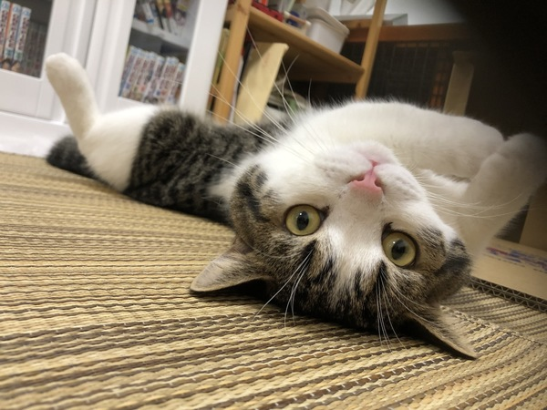 猫 スコティッシュフォールド とおふの写真