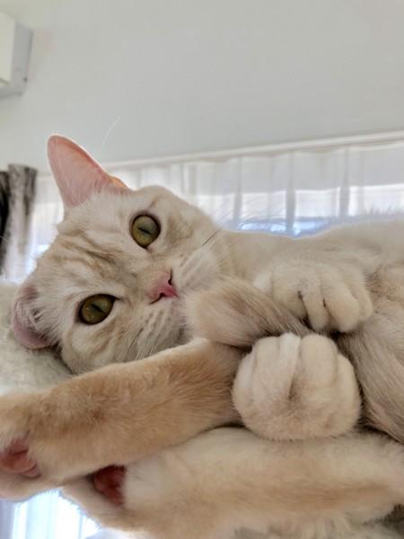 猫 マンチカン 万作の写真