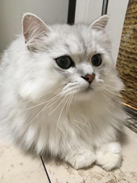 猫 ペルシャ ぺぺの写真
