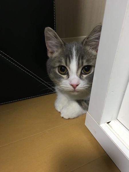 猫 マンチカン とのの写真