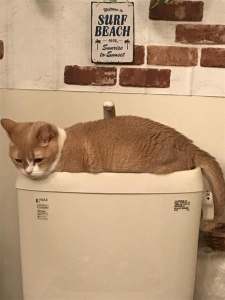 猫 マンチカン マチコの写真