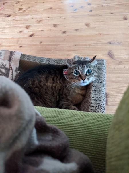 猫 アメリカンカール ゆたかの写真