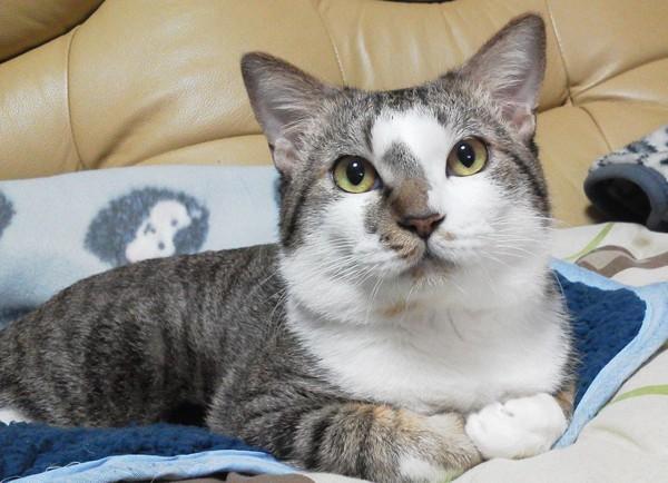 猫 キジシロ にじおの写真