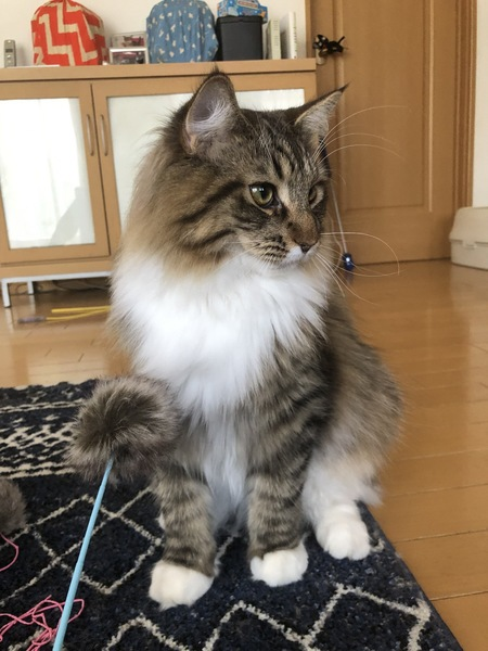 猫 メインクーン レオの写真