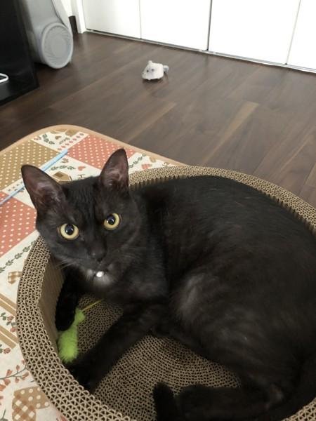 猫 黒猫 ココの写真