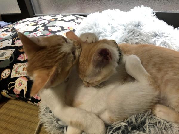 猫 茶白トラ 空和と瑛和の写真