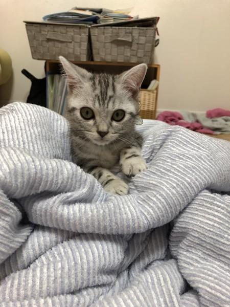猫 アメリカンショートヘア メロの写真
