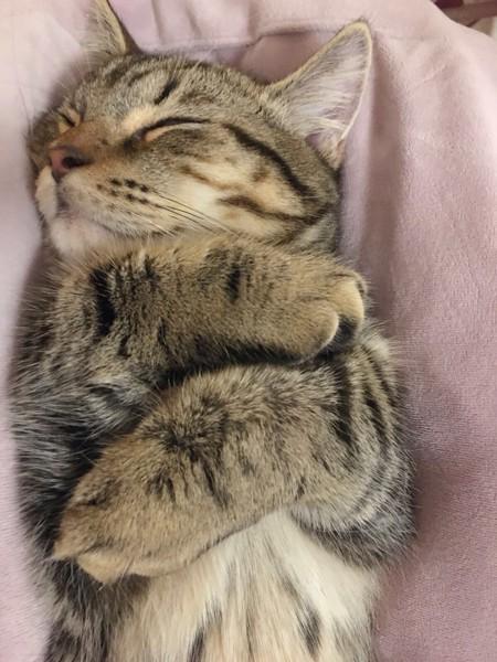 猫 マンチカン シューくんの写真