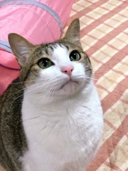 猫 キジシロ ももの写真