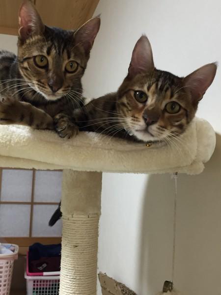 猫 トイガー ティガand鈴の写真