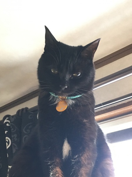 猫 黒猫 ベルの写真