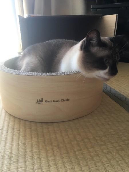 猫 シャムミックス あおの写真