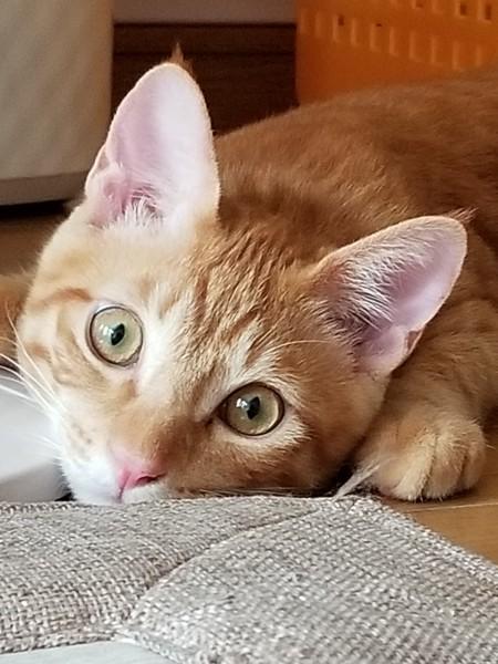 猫 茶トラ こうちゃん♂️の写真