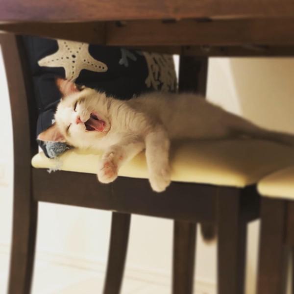 猫 ラグドール ノエルの写真