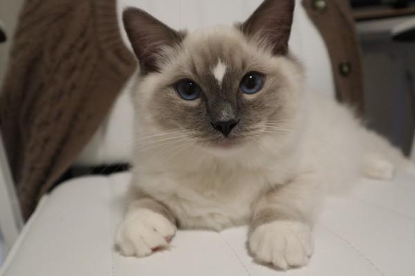 猫 ラグドール こつぶの写真
