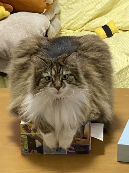 猫 ノルウェージャンフォレストキャット ゆずの写真