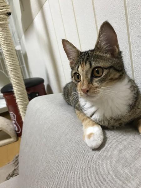 猫 日本猫 茶々の写真
