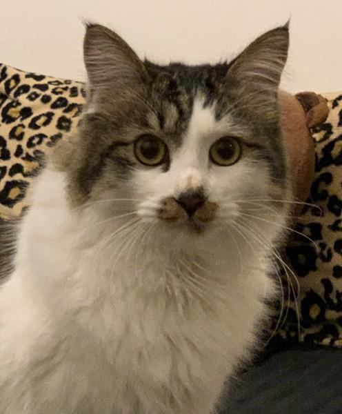 猫 雑種(ミックス) ルアの写真