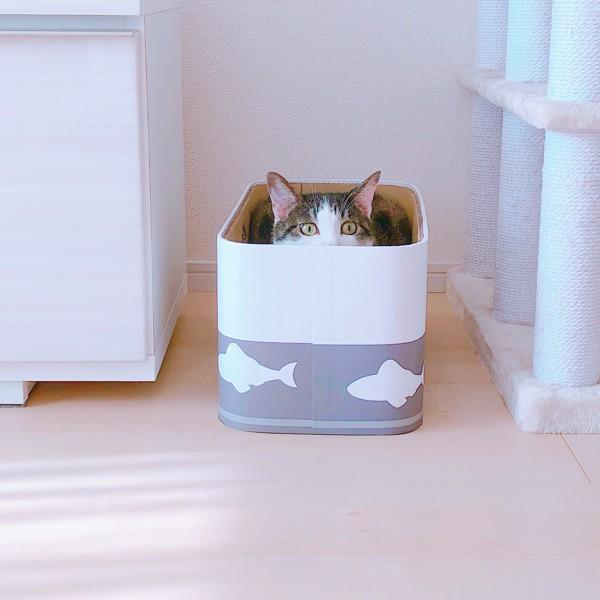 猫 日本猫 ちゃーの写真