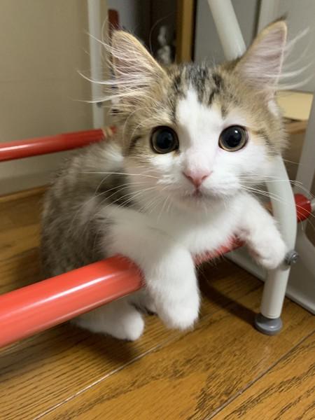 家具の横棒に手をかけてこちらを見る子猫