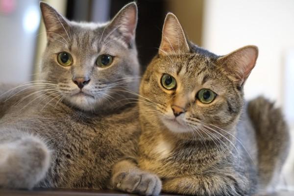 猫 雑種(ミックス) なつ&ゆずの写真
