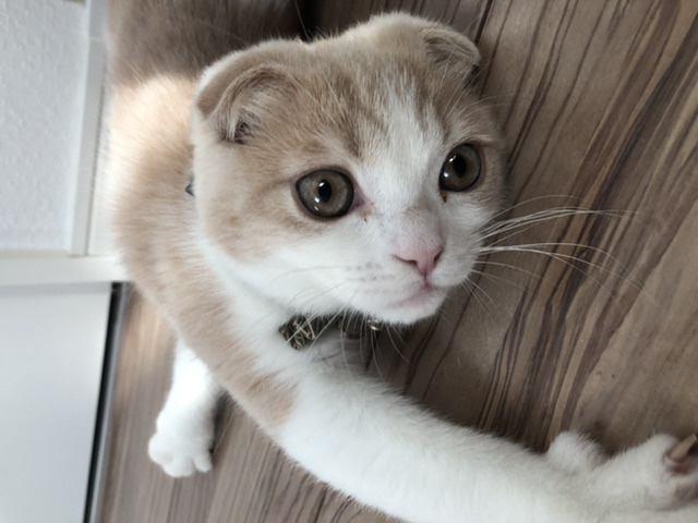 猫 スコティッシュフォールド こてつの写真