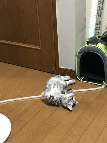 猫 マンチカン 獅子丸の写真