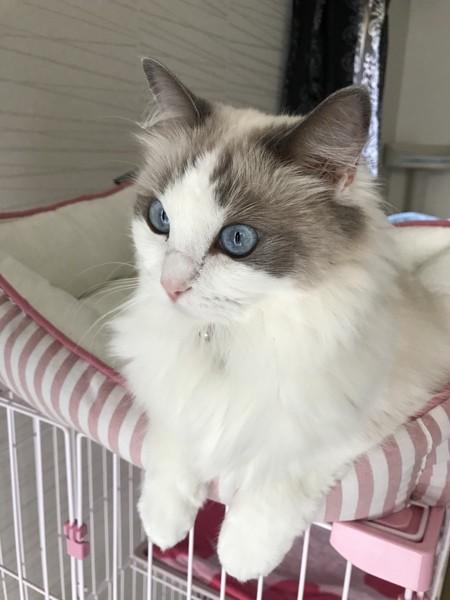 猫 ラグドール ララの写真