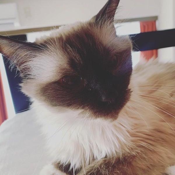 猫 ラグドール アンちゃんの写真